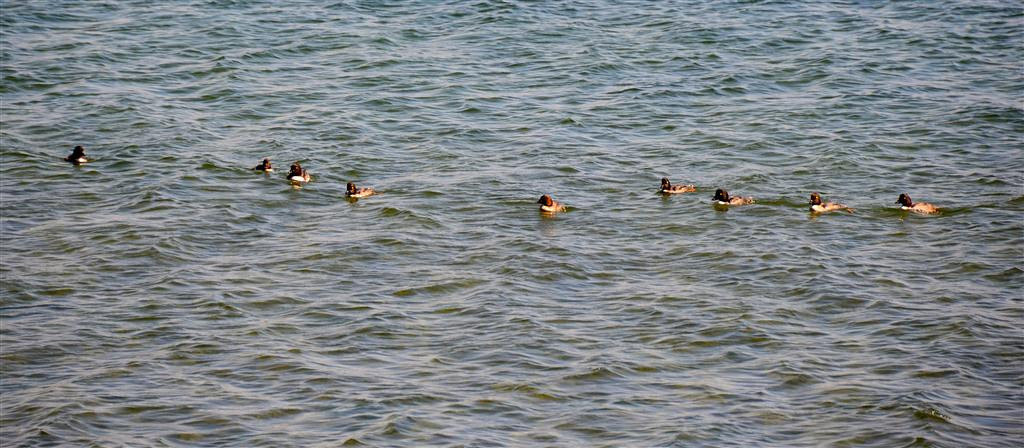 September 8<br /> <br /> I spot a raft of ringneck ducks. They all submerge at the same time to feed underwater for about 30 seconds.