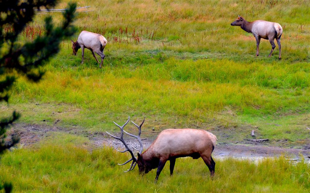 September 6<br /> <br /> A Yellowstone Moment.<br /> <br /> A huge bull elk with his harem of three.