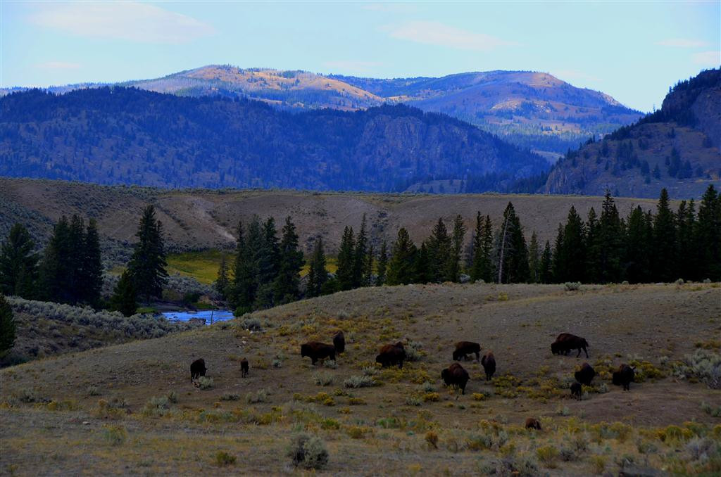 September 9<br /> <br /> Lamar Valley buffalo in Yellowstone