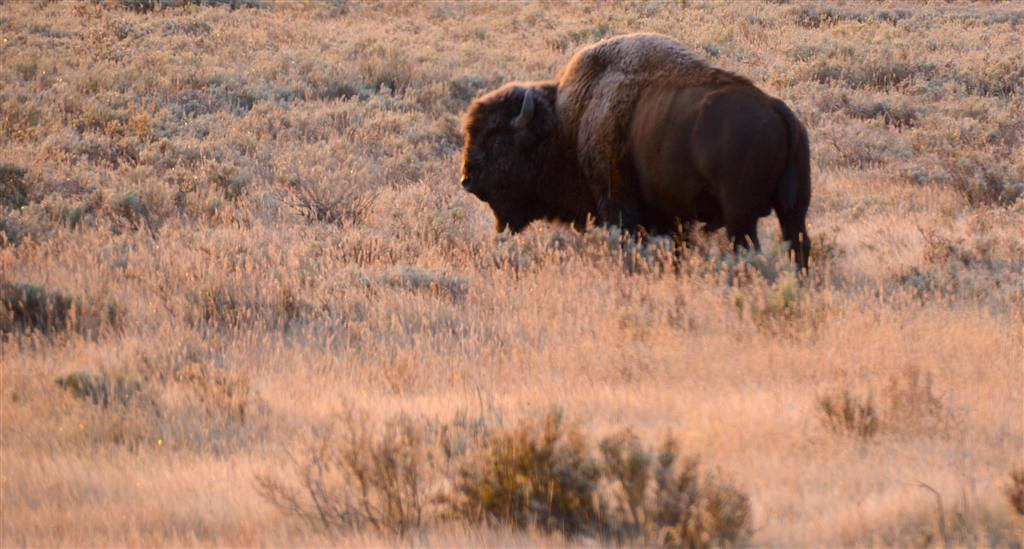 September 5<br /> <br /> Yellowstone National Park<br /> <br /> It is 29 degrees this morning with heavy frost on the grass and the bison.
