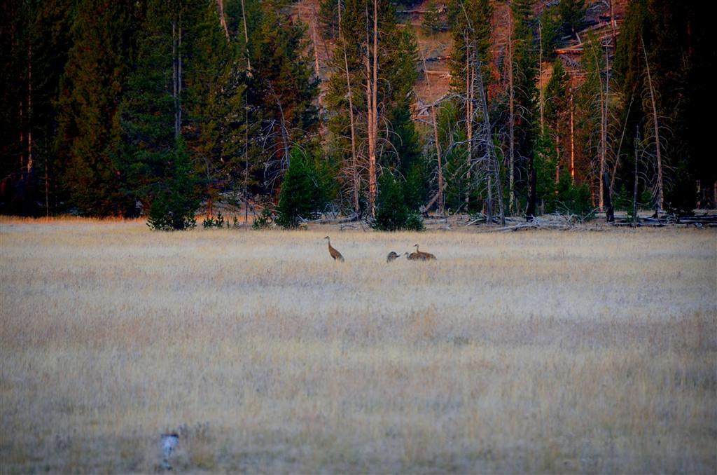 September 5<br /> <br /> Yellowstone National Park - Sandhill Cranes, I believe
