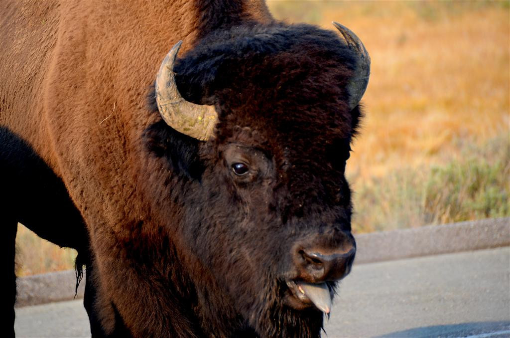 September 5<br /> <br /> Yellowstone National Park<br /> <br /> Bison bull decides he likes the form of the Casita. He starts bellowing at it and approaching it like he has some serious intentions. By now he has stopped about 20 cars on the road. I decide to jump in the truck and move the Casita before he makes any more advances towards the Casita.