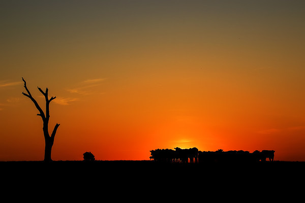 This image is reduce to three elements and that's why I enjoy it is much. It really is uncomplicated with a sunset,  a tree, a bush and a herd of cattle. By using the silhouettes, the objects become simple, basic and straightforward creating a romantic relationship of harmony.  John's Blog https://blog.caswellimages.com/  The latest print price guide: https://bit.ly/3oLw9OI