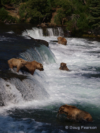 A few bears {Alaskan Brown bear (scientific name: ursus arctos)} fishing for Salmon at Brooks Falls in the Katmai National Park, Alaska.