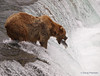 A bear {Alaskan Brown bear (scientific name: ursus arctos)} fishing at Brooks Falls in the Katmai National Park, Alaska.