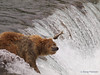 This salmon finds that bouncing off the head of a brown bear {Alaskan Brown bear (scientific name: ursus arctos)} is not much fun, Brooks Falls in the Katmai National Park, Alaska.