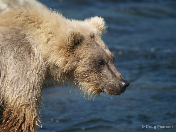 A bear cub {Alaskan Brown bear (scientific name: ursus arctos)} watches mom and a sibling cub fishing at Brooks Falls in the Katmai National Park, Alaska.
