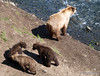 Three bear cubs {Alaskan Brown bear (scientific name: ursus arctos)} amuse themselves while momma looks for fish.  Taken near Brooks Camp and Lodge in the Katmai National Park.