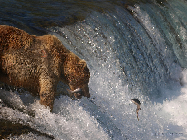 After catching one salmon, this bear {Alaskan Brown bear (scientific name: ursus arctos)} contemplates a second salmon in the air, Brooks Falls in the Katmai National Park, Alaska.