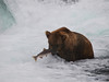 A bear {Alaskan Brown bear (scientific name: ursus arctos)} pulls his catch out of the water at the base of Brooks Falls in the Katmai National Park, Alaska.