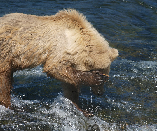 Party Cub:  Oh! I shouldn't have drank so much last night.  Brooks Falls, Katmai National Park.