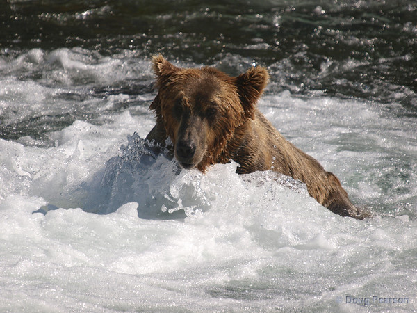A Brown bear {Alaskan Brown bear (scientific name: ursus arctos)} sits down while waiting for a Salmon to swim by, Brooks Falls in the Katmai National Park, Alaska.