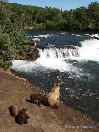 A brown bear sow {Alaskan Brown bear (scientific name: ursus arctos)} and her three cubs look for a fishing spot at Brooks Falls in the Katmai National Park, Alaska.