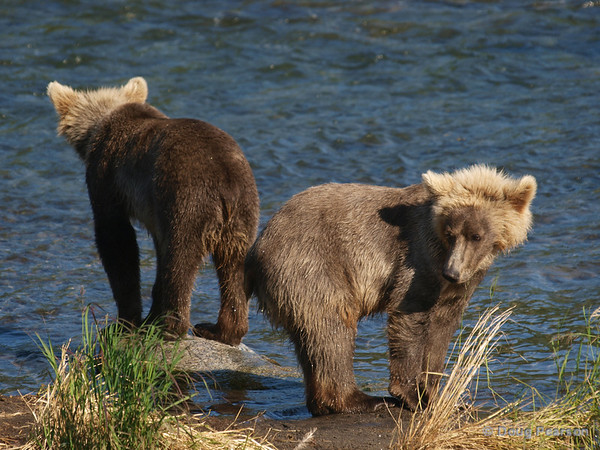 Two young bears {Alaskan Brown bear (scientific name: ursus arctos)} look for anything to eat while their mother is fishing for them.  Taken near Brooks Camp and Lodge in the Katmai National Park.