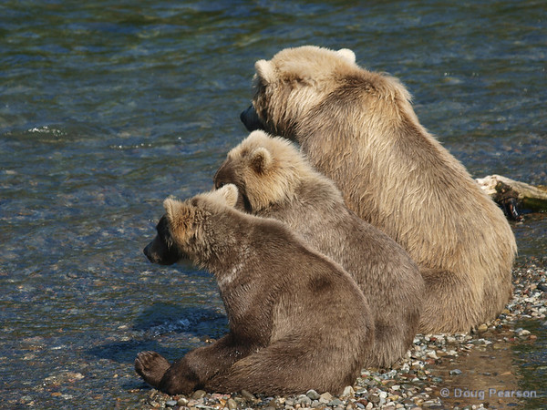 Two cubs {Alaskan Brown bear (scientific name: ursus arctos)} waiting with their mother for a convenient fish.  Taken near Brooks Camp and Lodge in the Katmai National Park.
