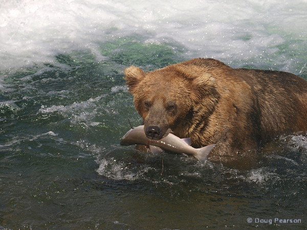 A brown bear {Alaskan Brown bear (scientific name: ursus arctos)} heads to a secluded spot to eat his salmon, Brooks Falls in the Katmai National Park, Alaska.