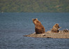 A sow and her cub {Alaskan Brown bear (scientific name: ursus arctos)} sitting on a small peninsula in Naknek Lake.  Taken near Brooks Camp and Lodge in the Katmai National Park.