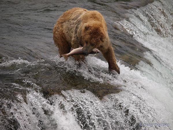A golden Brown bear {Alaskan Brown bear (scientific name: ursus arctos)} takes a salmon away to eat, Brooks Falls in the Katmai National Park, Alaska.