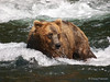 A Brown bear {Alaskan Brown bear (scientific name: ursus arctos)} looks to steal a Salmon from another bear at Brooks Falls in the Katmai National Park, Alaska.