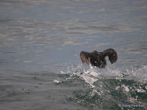 A Puffin attempting to fly away, Kenai Fjords near Seward Alaska
