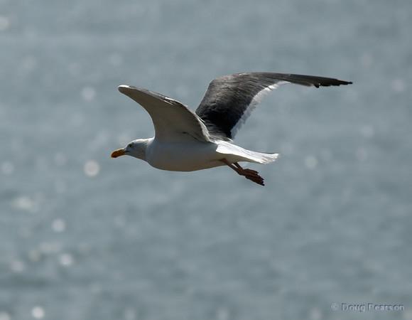 Seagull Flying near Channel Islands NP, Ventura, CA