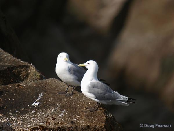 A pair of Seagulls, Kenai Fjords near Seward Alaska