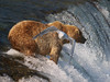 Brooks Falls, Katmai National Park, Alaska
