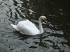 A Swan seen in the UK, picture 2.