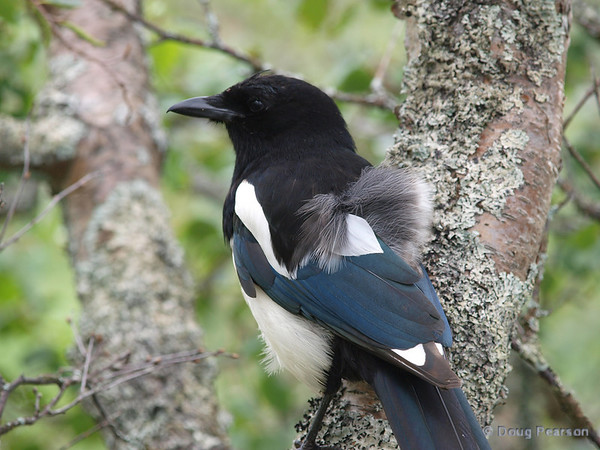 A magpie in a tree, near Brooks Camp and Lodge in the Katmai National Park.