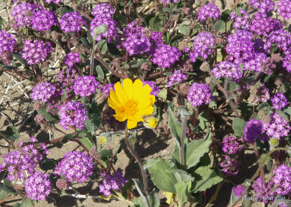 Purple and Yellow Wildflowers<br /> Anza Borrego Desert State Park
