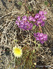 Purple, Yellow and White Wildflowers<br /> Anza Borrego Desert State Park