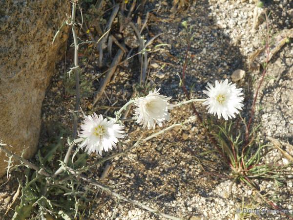 White Wildflowers<br /> Anza Borrego Desert State Park