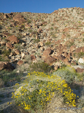 Yellow Wildflowers<br /> Anza Borrego Desert State Park
