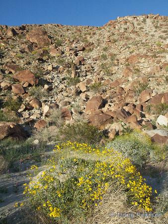 Yellow Wildflowers<br /> Anza Borrego Desert State Park