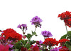 Red and purple flowers