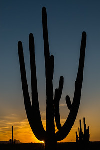 Saguaro at sunset.