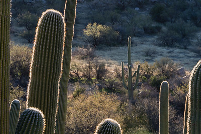Lonely Saguaro.