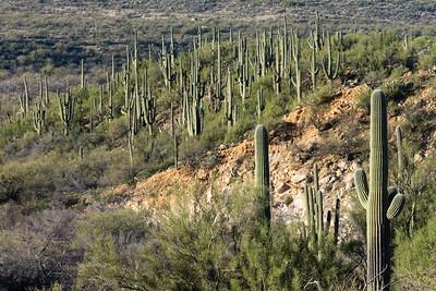 Stand of Saguaros.