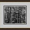 framed redwoods 1114 bw