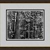 framed redwoods 1114 bw