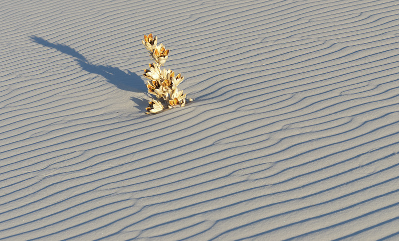Burried Yucca in Rippling White Sand