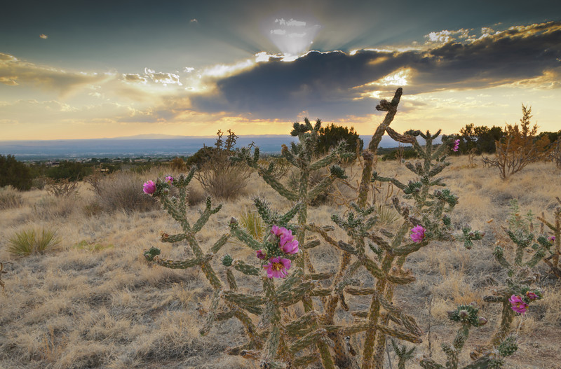 Rose Cholla Bloom at Sunset
