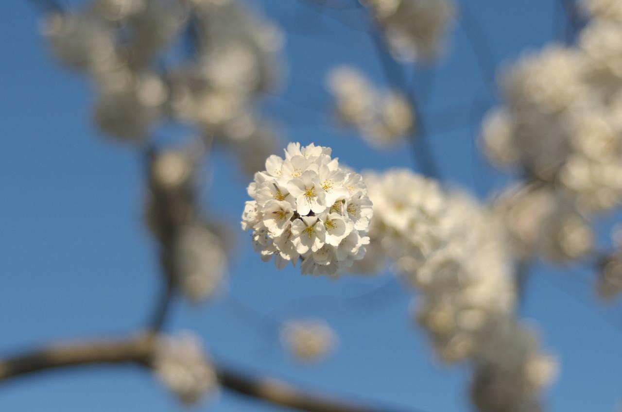 White Cherry Blossom Bokeh
