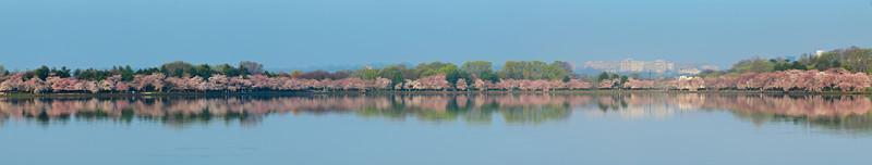 Cherry Blossom Tidal Mirror Panorama