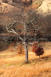 Barren tree on Biltmore Estate