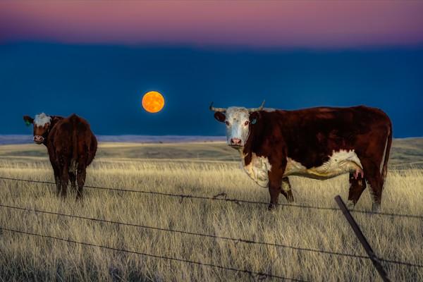 Full Moon Herefords