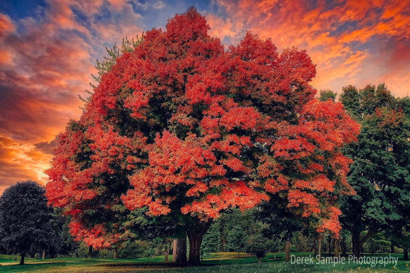 Red Maple at Sunset during