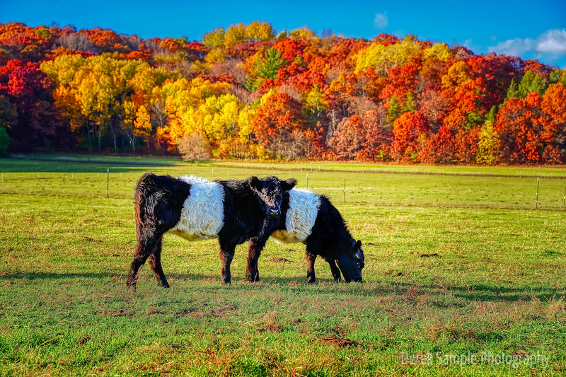 Belted Galloway Calves with Fall Colors