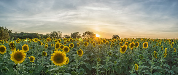 Raleigh Sunflowers
