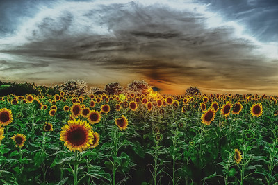 Surreal Sunflowers